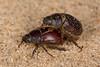 Diplotaxis fimbriata (aliceinwl1) Tags: arthropod arthropoda ca california coleoptera desertspring2017 diplotaxini diplotaxis diplotaxisfimbriata insect insecta kelsodunefield kelsodunes melolonthinae mojavedesert mojavenationalpreserve polyphaga sanbernardinocounty scarabbeetle scarabaeidae scarabaeoidea beetle fimbriata locpublic viseveryone