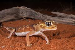 Smooth Knob-tailed Gecko (R. Francis) Tags: smoothknobtailedgecko nephruruslevis aridrecovery aridrecoveryreserve roxbydowns olympicdam ryanfrancis ryanfrancisphotography southaustralia sa