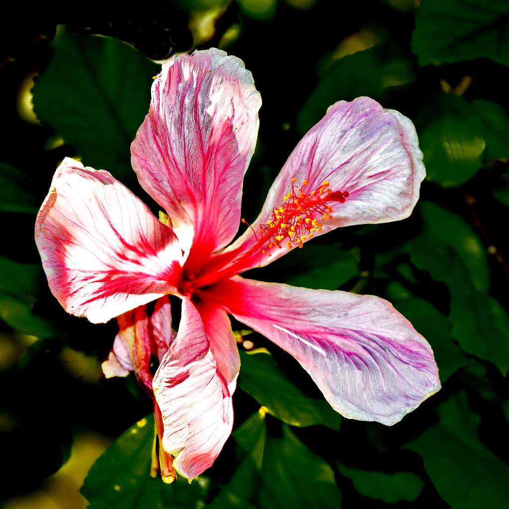 tag pink hibiscus flower - photo #7