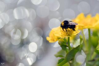 Bumblebee and marsh-marigold (explored)