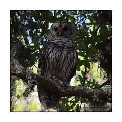 Barred Owl (Strix varia) (prendergasttony) Tags: elements owl nature outdoors birds barred florida usa america trees nikon d7200 prey tallons feathers atlantic beach animal feet yellow strix varia avian rspb birding