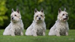 "IDENTICAL TRIPLETS ""Sam"" (Zuugnap) Tags: tlphotographynl tjeulinssen canonef70200mm canon5dmarkiii cairnterrier dogshoot dog"