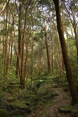 moist forest, Chatswood (Poytr) Tags: chatswood sydneyrainforest falsebracken calochlaenadubia acmenasmithii acmena myrtaceae forest tree trail rainforest