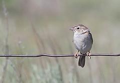casp-m-nearkeyes-5-12-17-tl-02-cropscreen (pomarinejaeger) Tags: keyes oklahoma unitedstates bird cassinssparrow peucaeacassinii
