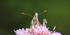 First date isn't it -.jpg (J-luc 38) Tags: flower butterfly fleur insectes macro pap