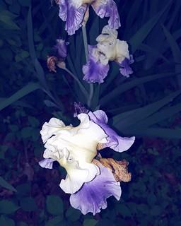 those irises