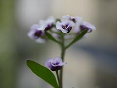 Kleine Blumen ganz groß (im_fluss) Tags: alyssum steinkraut blumen blüten balkon makro balcony flowers blossoms