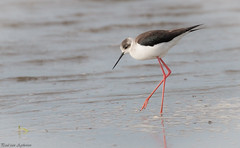 Steltkluut, Black-winged Stilt (Paul van Agthoven) Tags: holland 70d 100400 canon zoom lente birdwachers birdwacher birding vogels steltkluut