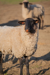 Hot Lips (gerilynns) Tags: sheep animals black maine spring outdoor farm