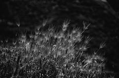 Spikes - pls zoom in for details (Marcelo Garcia Ferreyra) Tags: spikes mountain hills paracuello spain europe dry soil seco suelo europa nikon d7000 espigas blacj white blanco negro bn silver efex pro sep high detail alto detallo detallada macro nature naturaleza natural plant planta weed hierba contrasted contratado blackandwhite bnw blackwhite contrast