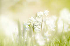 (chana4 ( Nancy Charlton)) Tags: platebande nature fleur blanc lumiere exterieur plante crocus