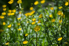 (Floramon) Tags: butterblume gelb yellow grün green natur nature blumen flower gelbeblumen yellowflowers wiese