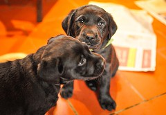 170428-Bluebellwoodsandpuppies (81)-1ps (Mphotograph) Tags: puppies labrador labradorlitter puppylitter photo nikon spring