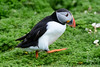 Puffin (Shane Jones) Tags: skomer puffin bird seabird wildlife nature nikon d500 200400vr tc14eii