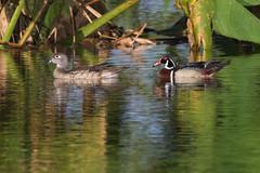 A Wood Duck Couple (J Baker Photography) Tags: wetlands florida beautiful water fowl woodducks male female shy skitish colorful ducks