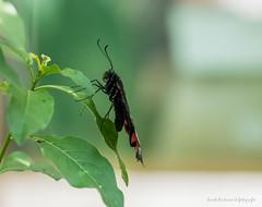 JM foto75-149 (janetankersmit) Tags: 2017 vlinders vlindertuin zutphen