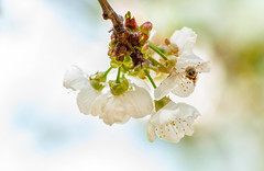 _DSC7492 (KateSi) Tags: cherryblossoms blossoms flowers fleurs blomster cherrytree spring vår primavera printemps white blanche blanco hvitt bees honeybee honeybees abeja abeille bie abejas biers abeilles nikon nikond90 depthoffield nature naturaleza natur