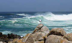 Standing Proud (charlottes flowers) Tags: pacificgrove seagull waves ptpinos
