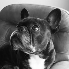 Head Shot (Lainey1) Tags: bw monochrome oz ozzy dog frenchie bulldog lainey1 elainedudzinski frogdog zendog frenchbulldog ozzythefrenchie leica leicadlux4 dlux4