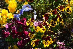 Spring Flowers 2 (khalid.lebdioui) Tags: spring flowers blossoms fleurs natural nature flore paysage landscape nikon d5200 flickr colors yellow purple blue red france alsace photography photos