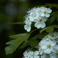 In the hedgerow 2 (another_scotsman) Tags: hawthorn flower blossom mayflower