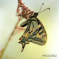 wouahhh, la robe... (studio gimi) Tags: papillon butterfly outdoor extérieur marais macro planrapproché grosplan profondeurdechamp depthoffield insecte nature natur sigma105mm