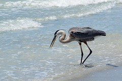 Great Blue Heron at the Beach (all one thing) Tags: greatblueheron ardeaherodias bird heron gulfofmexico nature shore wingwednesday hww water