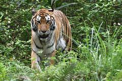 Bengal Tiger (孟加拉虎) (scv1_2001) Tags: nikon nikon70200mmvrii nikond750 taiwan taipeizoo 台北市立動物園