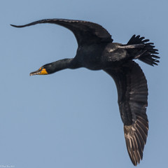 Cormorant fly by (Fred Roe) Tags: lca71d6917 nikond7100 nikkorafs80400mmf4556ged nikonafsteleconvertertc14eii nature wildlife cormorant birds birding birdwatching birdwatcher birdinflight doublecrestedcormorant phalacrocoraxauritus peacevalleypark