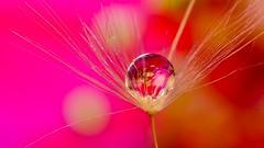 Pink Red Drop (YᗩSᗰIᘉᗴ HᗴᘉS +5 000 000 thx❀) Tags: drop dandelion pink red orange color macro hensyasmine h2o creative art artistic panasonic panasonicdmcgx8 7dwf