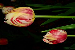 Tulips, Aperture=f/36, flash DSC_0748 (Me now0) Tags: лале следобед софиябългарияевропа никонд5300 китовобектив 1855mmf3556 цвете tulip afternoon пролет spring europe nikond5300 basiclens apertureƒ360