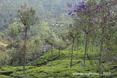 Tea plantations & flowering Jacaranda trees - scenery on the Mettupalayam to Coonoor Ghat Road - Tamil Nadu India (WanderingPhotosPJB) Tags: india tamilnadu ooty coonoor nigiri roadtoooty hairpinbends teaplantation jacarandatree flowers view scenery ghatroad 7dwf