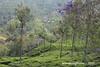 Tea plantations & flowering Jacaranda trees - scenery on the Mettupalayam to Coonoor Ghat Road - Tamil Nadu India (WanderingPJB) Tags: india tamilnadu ooty coonoor nigiri roadtoooty hairpinbends teaplantation jacarandatree flowers view scenery ghatroad 7dwf