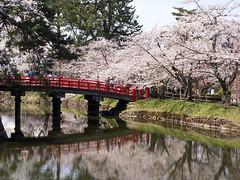 red bridge with cherry blossoms (gemapozo) Tags: sakura hirosakicity hirosakipark bridge fosse blossom aomori 645z cherry japan pentax 弘前市 青森県 日本 hdpentaxdfa645macro90mmf28edawsr 弘前公園 桜 さくら ソメイヨシノ