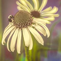 In The Woods (yeahbouyee) Tags: macromondays memberschoiceintothewoods macro bee echinacea yeahbouyee