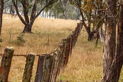 ..still standing.. (dawn.tranter) Tags: dawntranter lean right straight standing bush paddock gumtrees fence