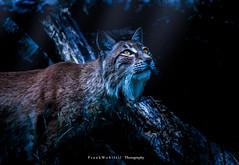 Ready to hunt / Bereit zur Jagd (mr.wohl) Tags: jagd luchs nacht jäger safari