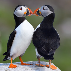 Puffins (Gary Vause) Tags: kissing fraterculaarctica farnes nationaltrust atlanticpuffin northumberland seabird islands courtship pairs seaparrot coastal garyvause
