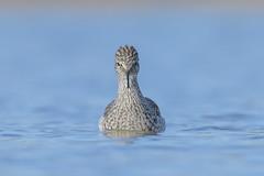 Worth every ache and pain (Amy Hudechek Photography) Tags: lesser yellowlegs shorebird bird water lake migration wildlife nature amyhudechek colorado