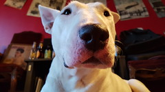Big-Nosed Dog (Coastal Elite) Tags: dog chien home dogs bullterrier chiens bull terrier human pet head face surprised curious interested pets animals animal friends look stare eyes big nose