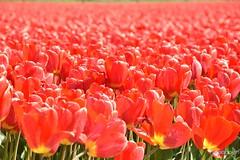 DSC_1727 (nicoooooh) Tags: tulips tulpen flower flowers flowerfields tulipfields holland