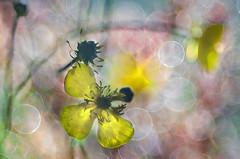 Swim in a sea of bubbles (bresciano.carla) Tags: trioplan pentax colors bubbles bokeh yellow manualfocus spring flower flickr oldlens pentaxart flowers