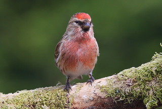 MALE  REDPOLL....Mid Wales....Look on large.