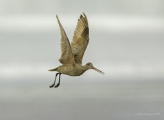Spread your wings- Marbled Godwit Style (Chantal Jacques Photography) Tags: wildandfree bokeh beach tofino tofinopilgrimage marbledgodwit spreadyourwings