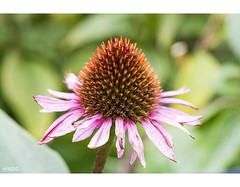 Daily Dose (red stilletto) Tags: autumn gardensofsterth gardensofsterthblackwood echinacea echinaceaflower echinaceaplant flower petal petals blackwood
