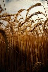 Fields Of Gold .. (Hazem Hafez) Tags: crop village farming farm agriculture gold wheat harvest land