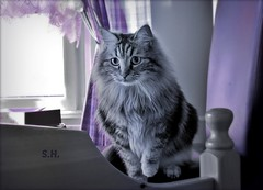 Hunting (pianocats16, miau...) Tags: cat kitty cute fluffy