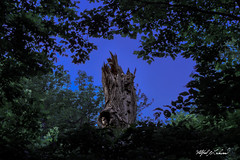 Longing To Leave_MG_0685 (Alfred J. Lockwood Photography) Tags: alfredjlockwood nature wildscape nest barredowl owlet oaktree dusk bluehour frame colleyvillenaturecenter environment twilight night clearsky texas