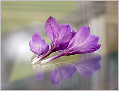 (melolou) Tags: crocus reflection three 3 flowers spring