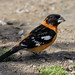 Black-headed Grosbeak, Male (brian.bemmels) Tags: delta bc britishcolumbia canada pheucticusmelanocephalus pheucticus melanocephalus blackheadedgrosbeak blackheaded grosbeak male